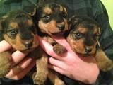 Собаки, щенята Вельштер'єр, ціна 4000 Грн., Фото