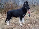Собаки, щенята Східно-Європейська вівчарка, ціна 10000 Грн., Фото