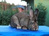 Гризуни Кролики, Фото