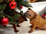 Собаки, щенята Родезійського ріджбек, ціна 20000 Грн., Фото