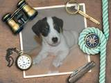 Собаки, щенята Джек Рассел тер'єр, ціна 9990 Грн., Фото