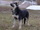 Собаки, щенята Східно-Європейська вівчарка, ціна 7000 Грн., Фото