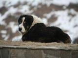 Собаки, щенята Середньоазіатська вівчарка, ціна 8000 Грн., Фото