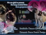Собаки, щенки Американский акита, цена 30000 Грн., Фото