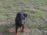 Собаки, щенки Ягдтерьер, Фото