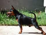 Собаки, щенята Карликовий пінчер, ціна 12500 Грн., Фото