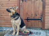 Собаки, щенки Восточно-Европейская овчарка, цена 200 Грн., Фото