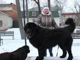 Собаки, щенята Ньюфаундленд, Фото