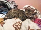 Кошки, котята Бенгальская, цена 3500 Грн., Фото