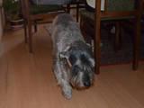 Собаки, щенята Міттельшнауцер, ціна 100 Грн., Фото