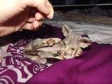 Кішки, кошенята Канадський сфінкс, ціна 1300 Грн., Фото