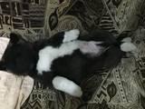 Собаки, щенки Акита-ину, цена 7000 Грн., Фото