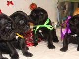 Собаки, щенята Кане Корсо, ціна 10000 Грн., Фото