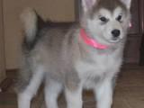 Собаки, щенки Аляскинский маламут, цена 12000 Грн., Фото