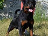 Собаки, щенята Ротвейлер, ціна 9000 Грн., Фото
