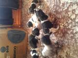 Собаки, щенки Русский спаниель, цена 800 Грн., Фото