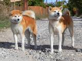 Собаки, щенята Акіта-іну, ціна 19999 Грн., Фото