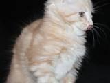 Кішки, кошенята Мейн-кун, ціна 7000 Грн., Фото