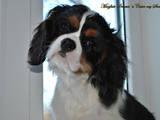 Собаки, щенята Кавалер-кинг-чарльз спаніель, ціна 36000 Грн., Фото