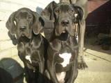 Собаки, щенки Немецкий дог, цена 5000 Грн., Фото