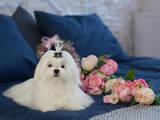 Собаки, щенята Мальтійська болонка, ціна 45000 Грн., Фото