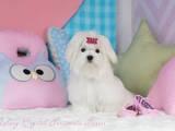 Собаки, щенки Мальтийская болонка, цена 65000 Грн., Фото