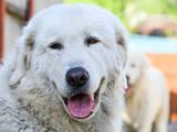 Собаки, щенята Біла Швейцарська вівчарка, ціна 27000 Грн., Фото