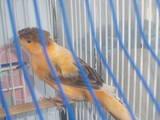 Попугаи и птицы Канарейки, цена 400 Грн., Фото
