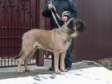 Собаки, щенята Англійська мастіф, ціна 12000 Грн., Фото