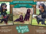 Собаки, щенята Сетер-гордон, ціна 7500 Грн., Фото