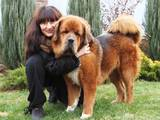 Собаки, щенята Тибетський мастиф, ціна 50000 Грн., Фото