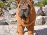Собаки, щенята Шарпей, ціна 5500 Грн., Фото