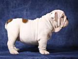 Собаки, щенята Англійський бульдог, ціна 30000 Грн., Фото