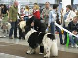 Собаки, щенки Ньюфаундленд, цена 14000 Грн., Фото