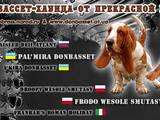 Собаки, щенята Бассет, ціна 8000 Грн., Фото