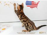 Кішки, кошенята Бенгальськая, ціна 19000 Грн., Фото