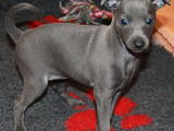 Собаки, щенки Левретка, цена 30000 Грн., Фото