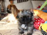 Собаки, щенки Пекинес, цена 3500 Грн., Фото