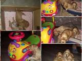 Собаки, щенки Английский коккер, цена 3000 Грн., Фото