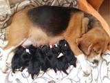 Собаки, щенята Бігль, ціна 6000 Грн., Фото