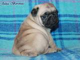 Собаки, щенки Мопс, цена 6000 Грн., Фото