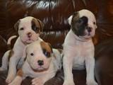 Собаки, щенята Американський бульдог, ціна 13000 Грн., Фото
