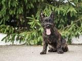 Собаки, щенки Кернтерьер, цена 15000 Грн., Фото