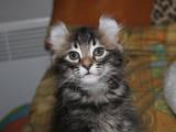 Кішки, кошенята Американський керл, ціна 7500 Грн., Фото