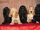 Собаки, щенята Англійський коккер, ціна 4000 Грн., Фото