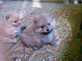 Собаки, щенки Карликовый шпиц, цена 8000 Грн., Фото