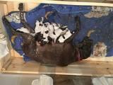 Собаки, щенята Німецька гладкошерста лягава, ціна 7000 Грн., Фото