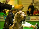 Собаки, щенята Веймарська лягава, ціна 22000 Грн., Фото