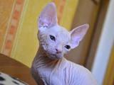 Кошки, котята Донской сфинкс, цена 4600 Грн., Фото