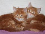 Кошки, котята Мэйн-кун, цена 6000 Грн., Фото